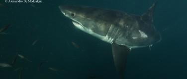 Recherche sur le grand requin blanc