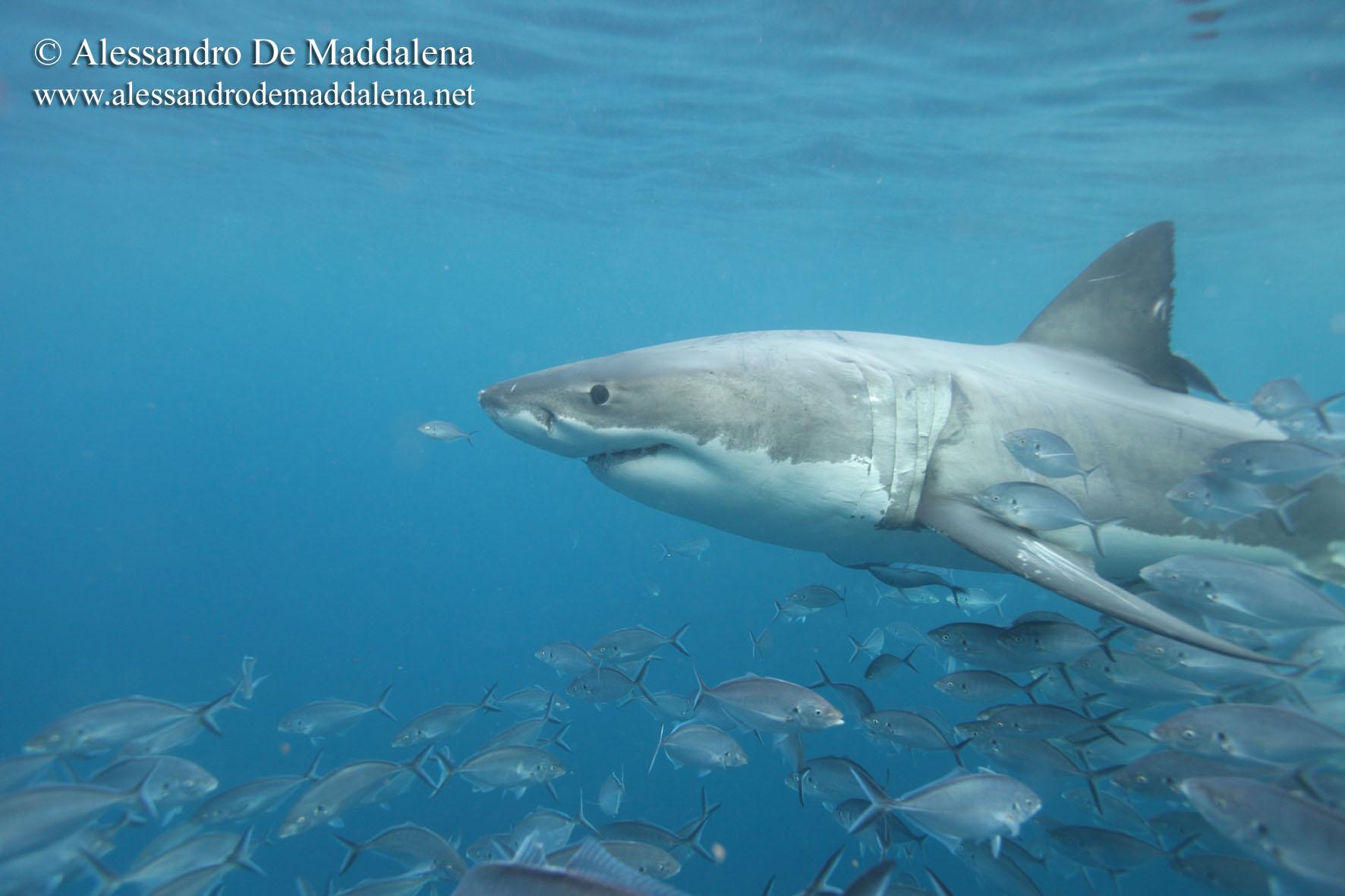 Programme exp dition grand requin blanc en australie - Dessiner un requin blanc ...