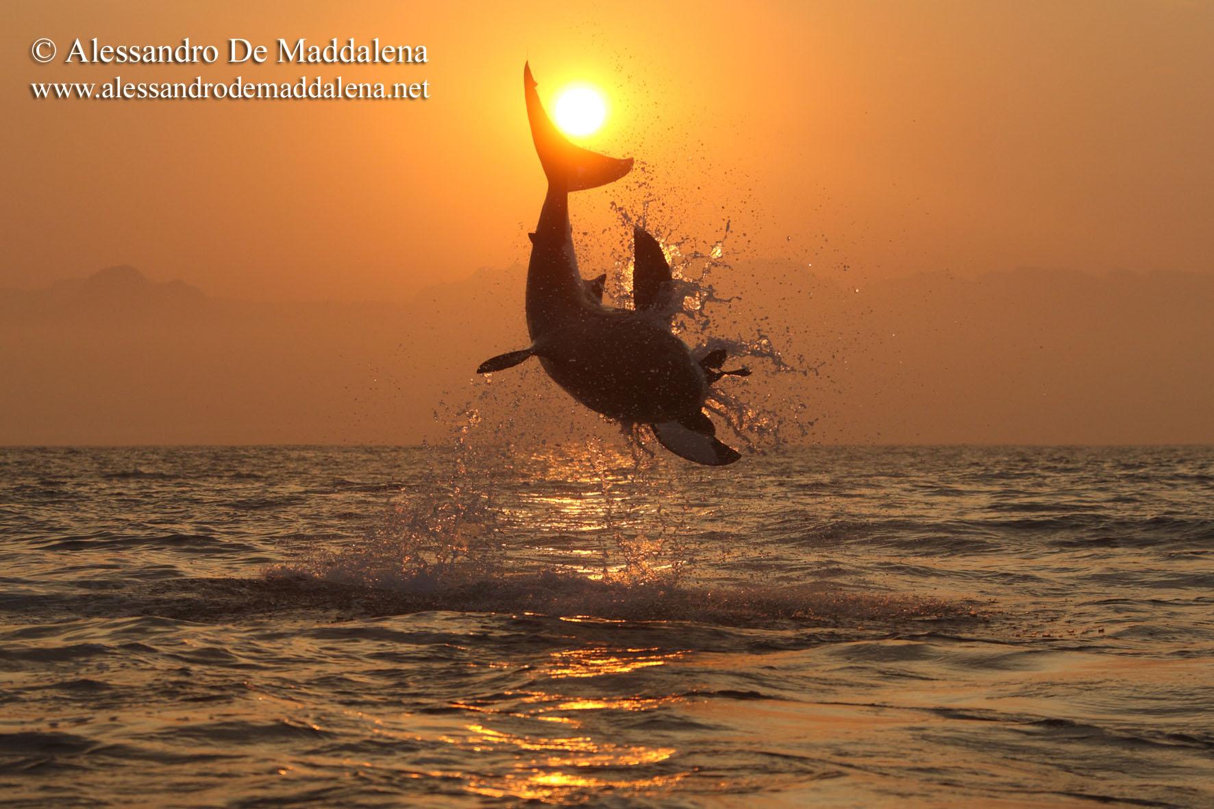Programma spedizione squalo bianco sudafrica alessandro de maddalena - Bagno con gli squali sudafrica ...