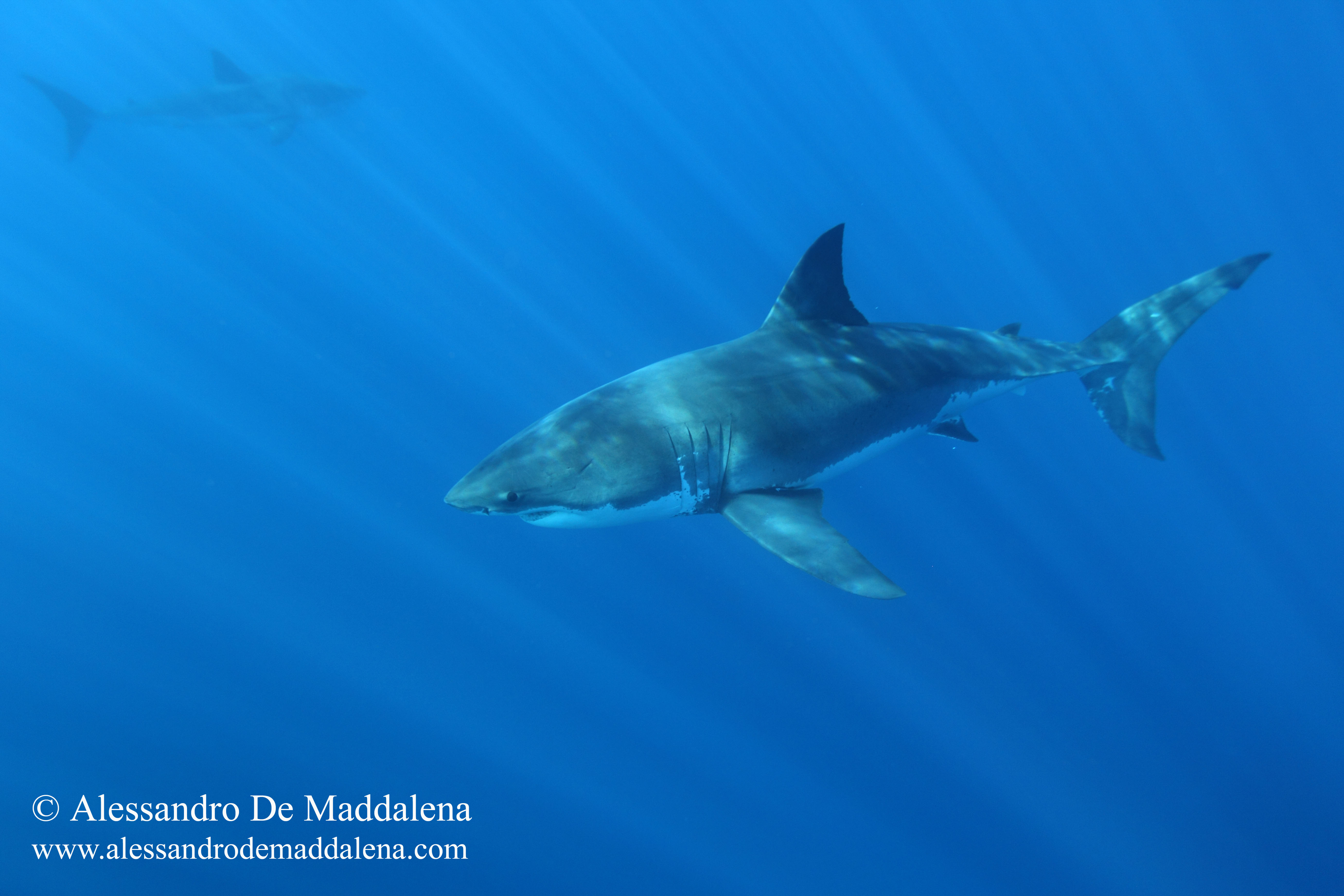 Program of the Great White Shark Expedition in Guadalupe